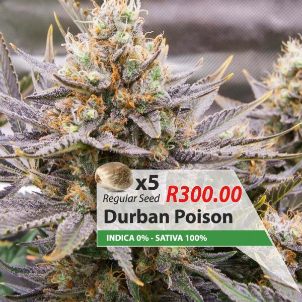 Durban Poison cannabis seeds South Africa